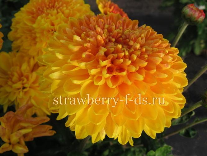 многолетние цветы каталог с